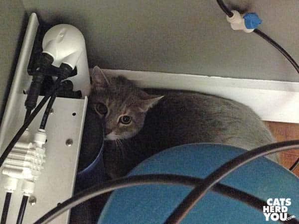 Gray tabby cat hiding at vet