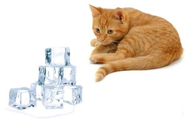 orange cat looks at ice cubes