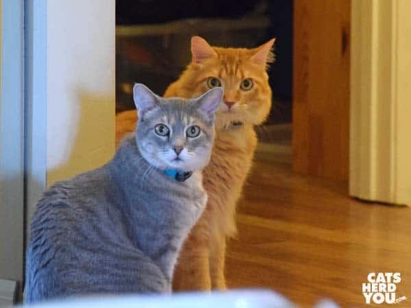 gray tabby cat and orange tabby cat