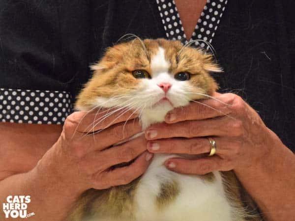 longair fold cat in judging ring