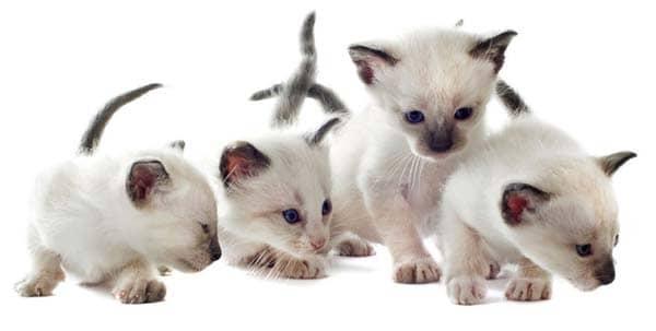 siamese kittens - image credit: depositphotos/cynoclub