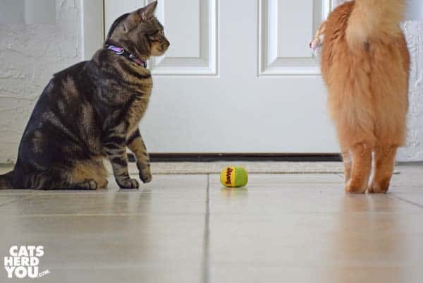 one-eyed brown tabby cat faces off with orange tabby cat over toy