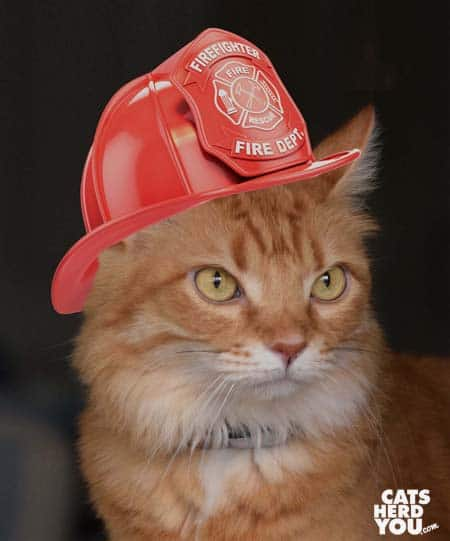 orange tabby cat wears fire helmet