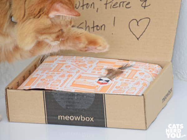 orange tabby cat swats meowbox feather