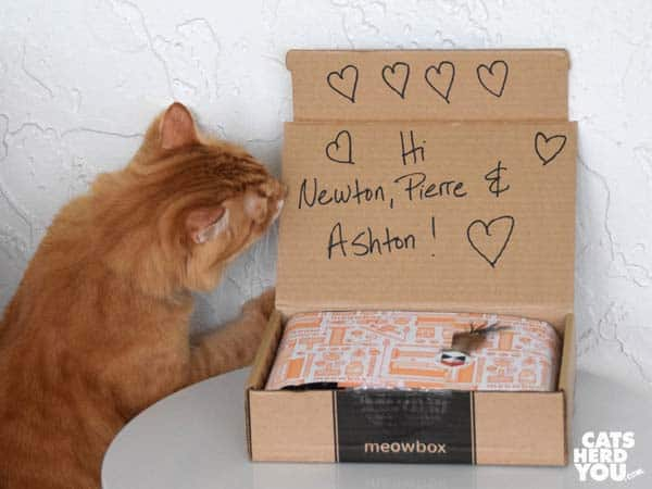 orange tabby cat with meowbox