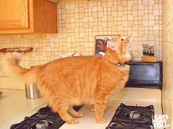 orange tabby cat stands on stove