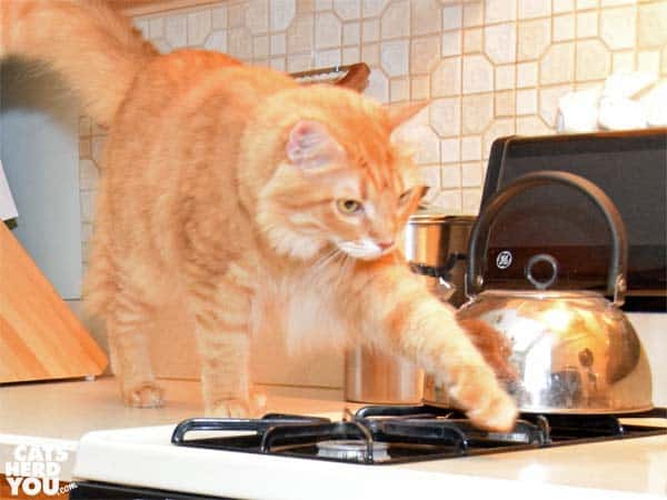 orange tabby cat walks on stove