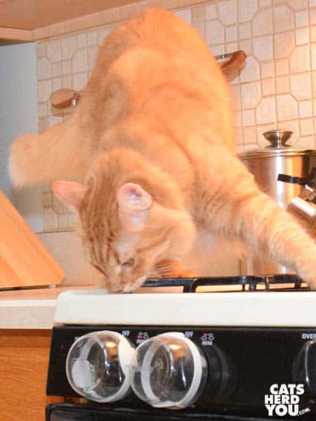 orange tabby cat sniffs stove knob