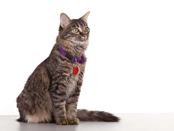 cat wearing collar and ID. photo credit: depositphotos/markhayes