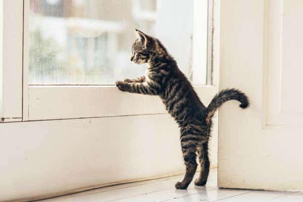 kitten looks out window. photo credit: depositphotos/ysbrand