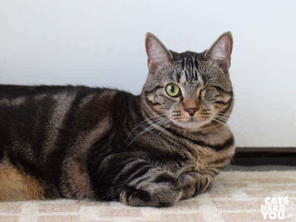 one-eyed brown tabby cat in loaf position