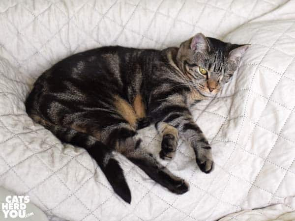 one-eyed brown tabby cat sprawls on sofa