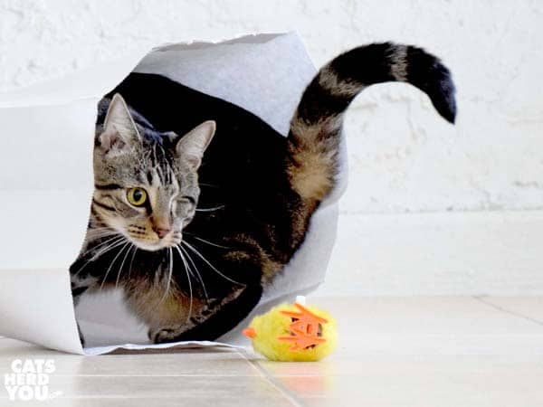 one-eyed brown tabby cat exits white paper bag