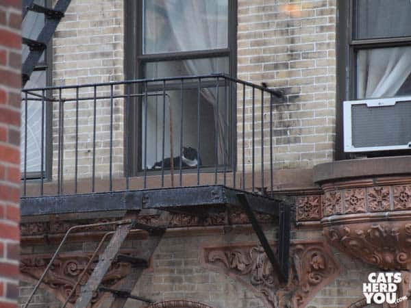 Tuxedo cat looks out window, New York City