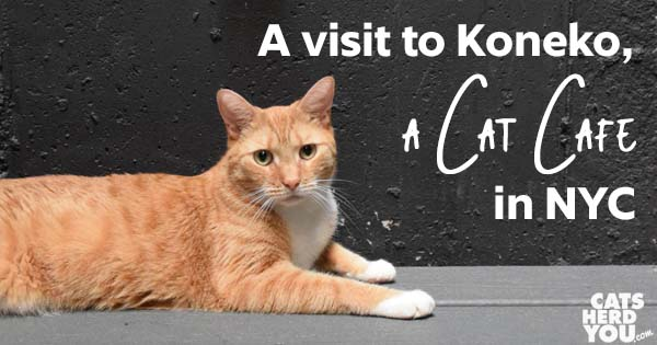 A visit to Koneko, a Cat Cafe in NYC