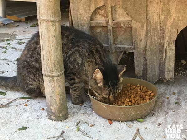brown tabby cat eats kibble at The Crab Shack
