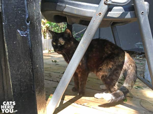 Patches, tortoiseshell cat at The Crab Shack