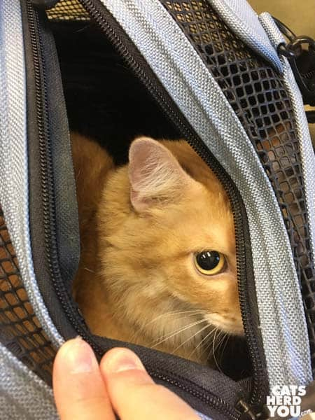orange tabby cat peers out of sleepypod carrier