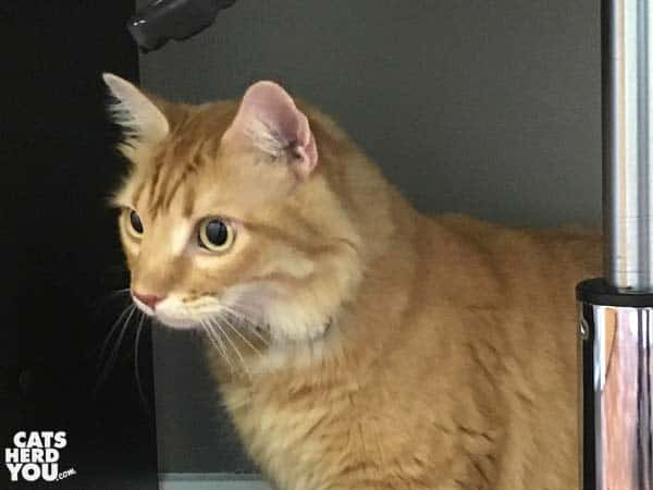 orange tabby cat loose in vet exam room