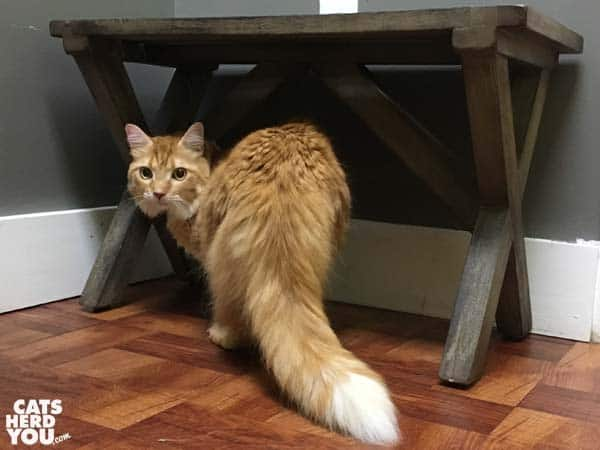 orange tabby cat on the floor of vet exam room