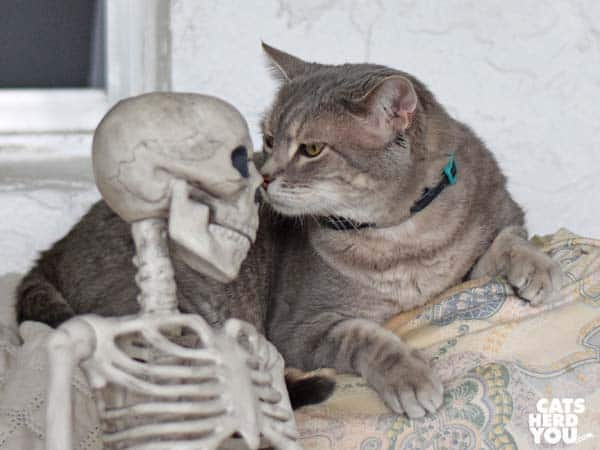 gray tabby cat sniffs skeleton