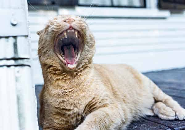cat yawning. photo credit: Gratisography/Ryan McGuire