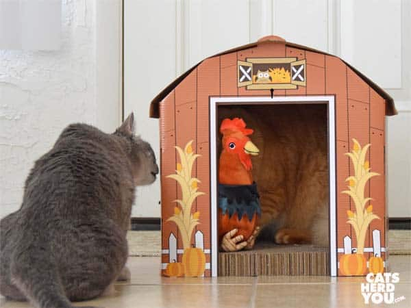 gray tabby cat looks into barn at orange tabby cat and rooster