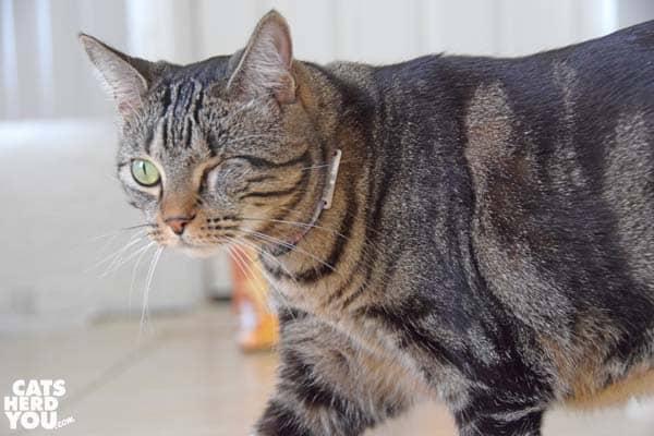 one-eyed brown tabby cat walks across frame