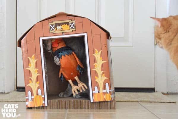 gray tabby cat wrestles rooster inside barn