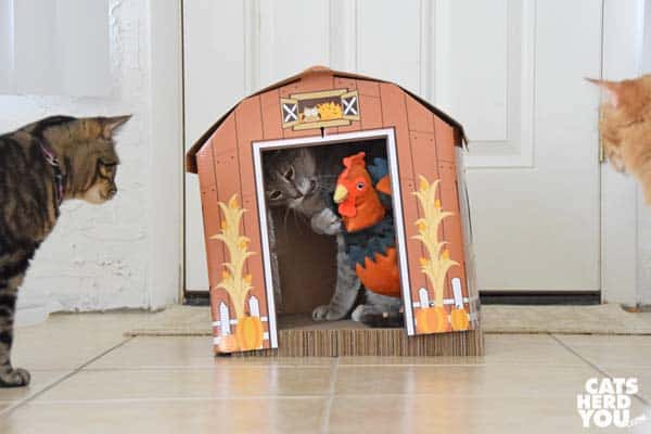 gray tabby cat wrestles rooster inside barn as orange tabby cat and brown tabby cat look on