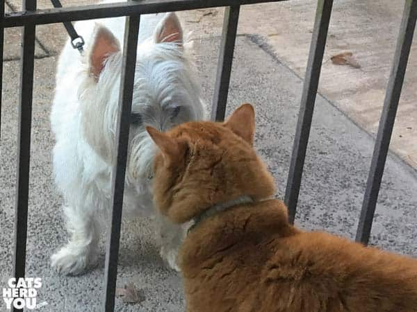 Orange tabby cat looks at white dog through screen door