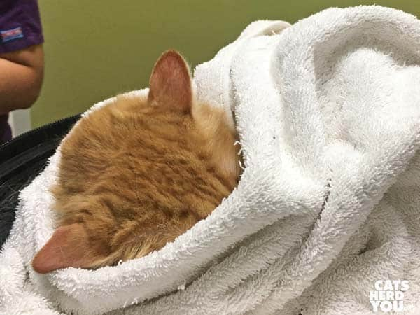 orange tabby cat hides face in towel