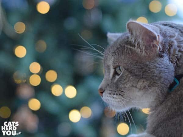 gray tabby cat