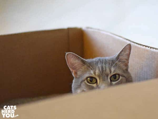gray tabby cat in cardboard box