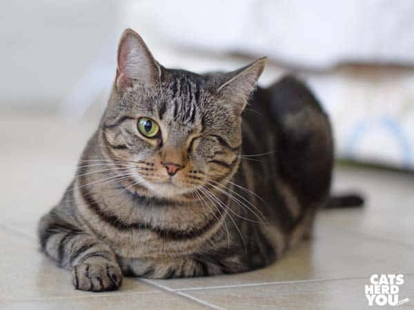 one-eyed brown tabby cat