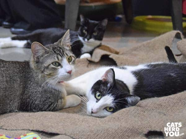 Severus Snape and Kringle, adoptable cats at the Orlando Cat Cafe