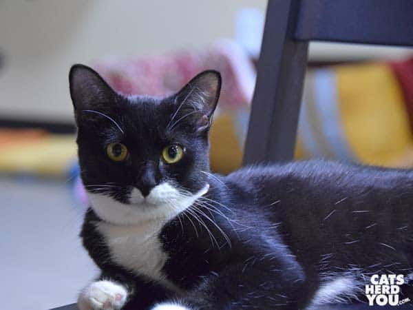 Yale, an adoptable cat at Orlando Cat Cafe
