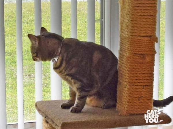 one-eyed broen tabby cat climbs cat tree