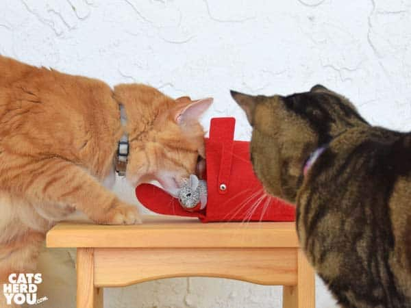 brown tabby cat watches orange tabby cat with valentine mouse in mailbox