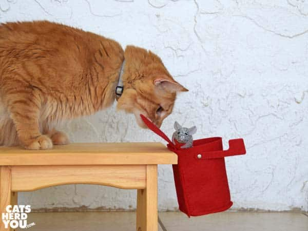 Orange tabby cat watches valentine mouse fall
