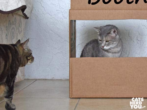brown tabby cat looks at gray tabby cat in kissing booth