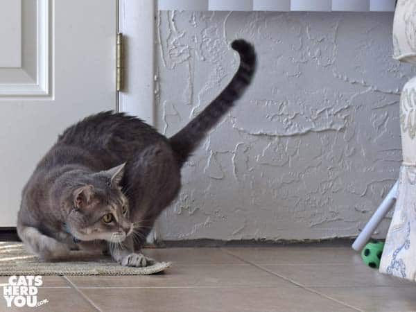 gray tabby cat chases soccer ball toy