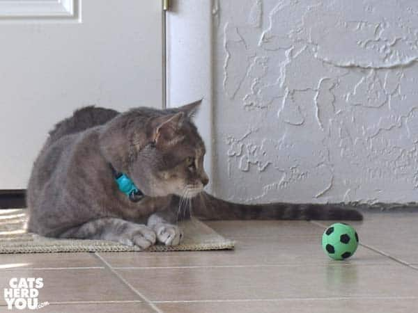 gray tabby cat watches soccer toy ball toy