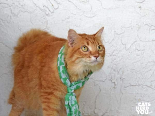 orange tabby cat in St. Patrick's Day scarf