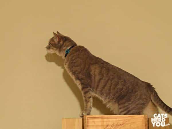 gray tabby cat stretches tall on cat tree