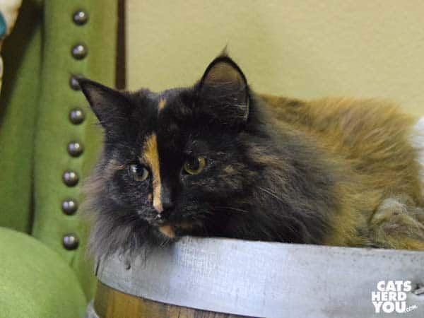 Wild Cherry, adoptable cat at Orlando Cat Cafe