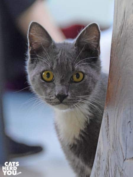 Baby Gray adoptable kitten at Orlando Cat Cafe