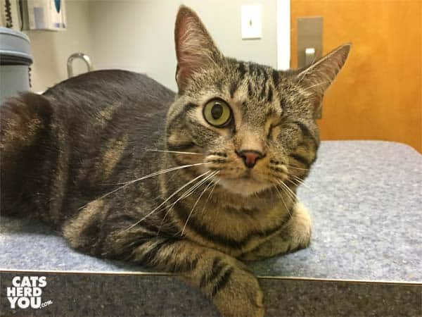 one-eyed brown tabby cat at vet