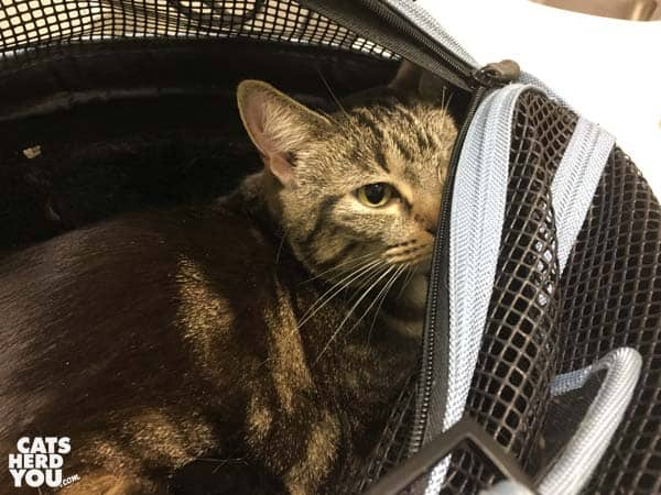 one-eyed brown tabby cat peeks out of carrier at vet