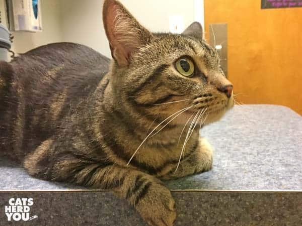 One-eyed brown tabby cat at Bay Hill Cat Hospital
